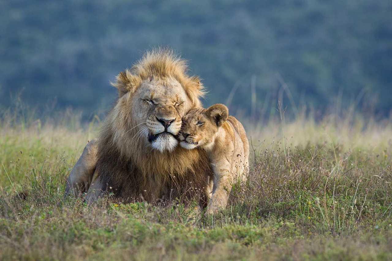 «Царь зверей» во всей красе