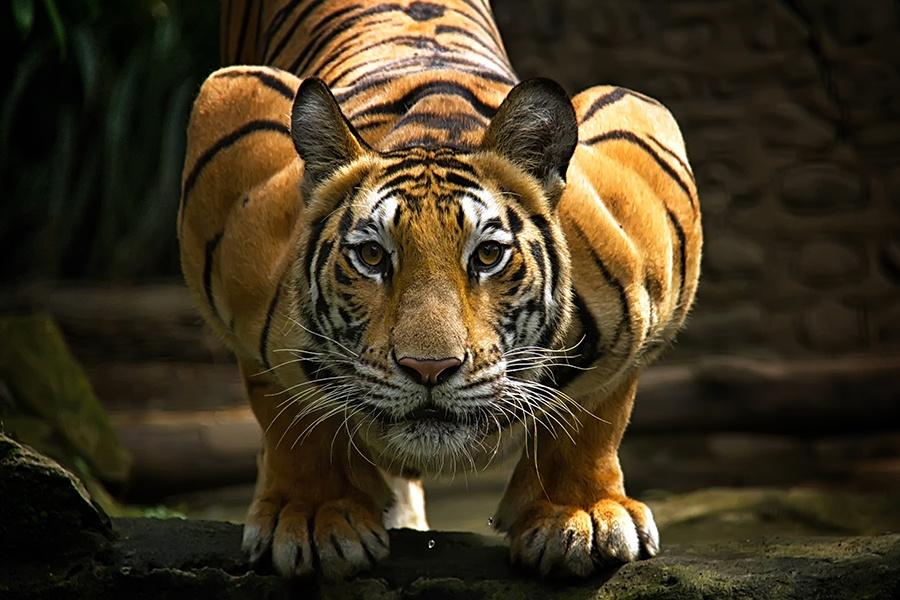 Потрясающие снимки тигров, обладающие магнетической атмосферой