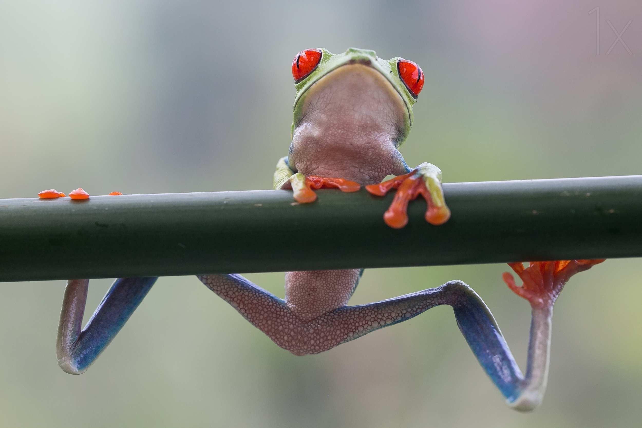 Макро фотографии лягушек Nicolas Reusens
