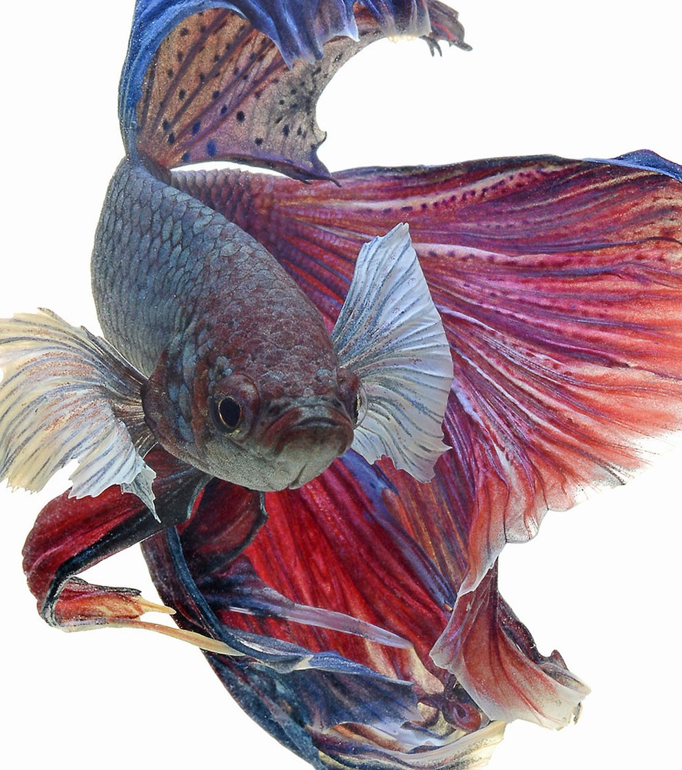 Siamese Fighting Fish_02