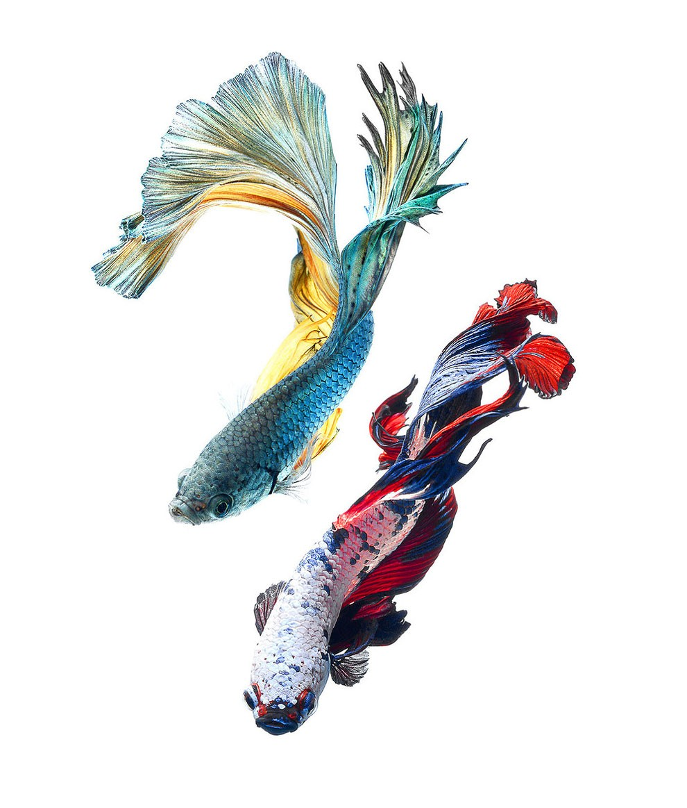 Siamese Fighting Fish_04