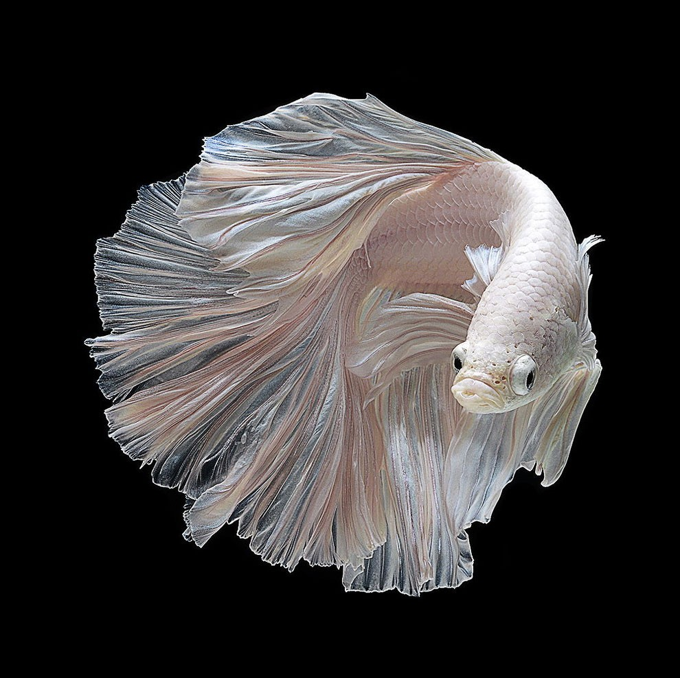 Siamese Fighting Fish_06