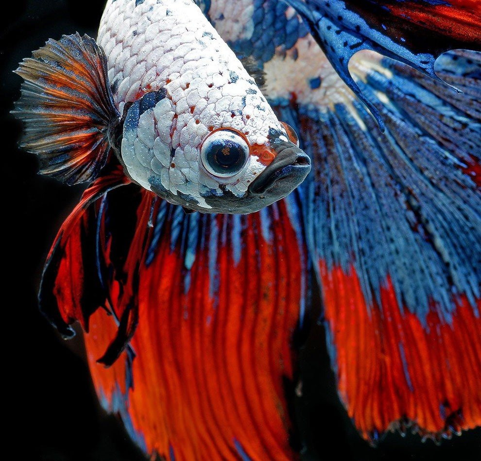 Siamese Fighting Fish_07