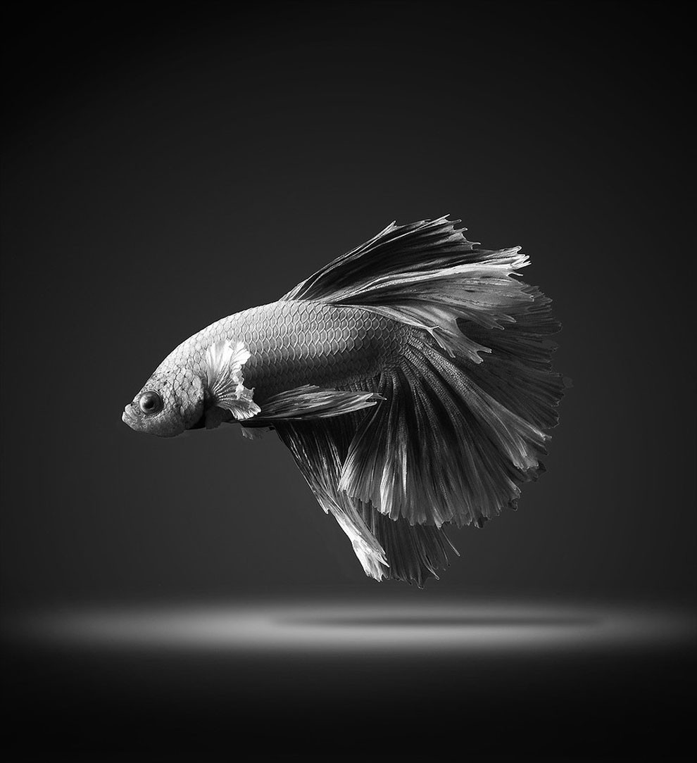 Siamese Fighting Fish_10