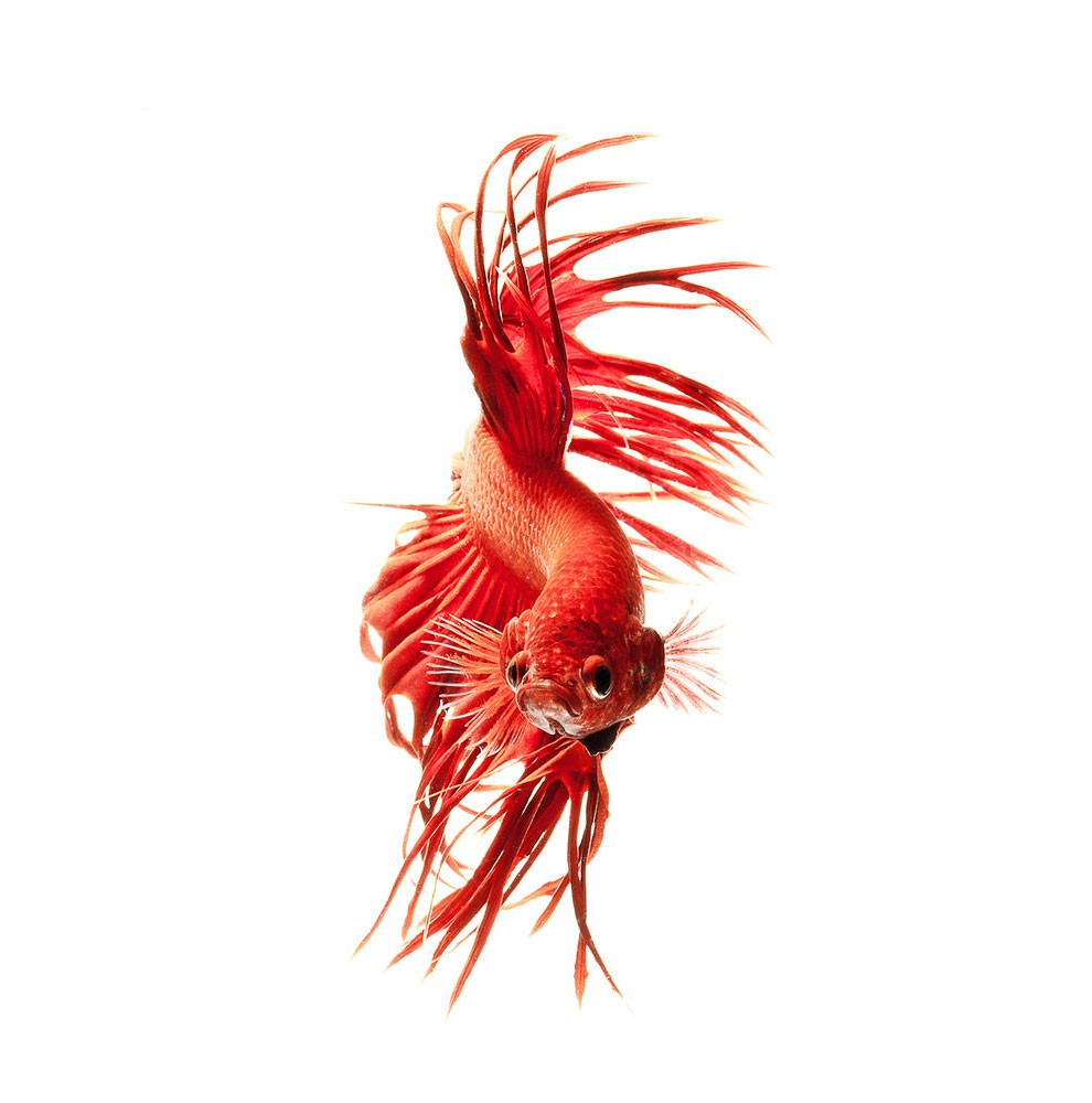 Siamese Fighting Fish_11