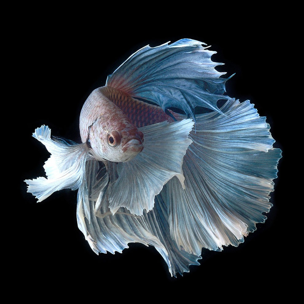 Siamese Fighting Fish_12