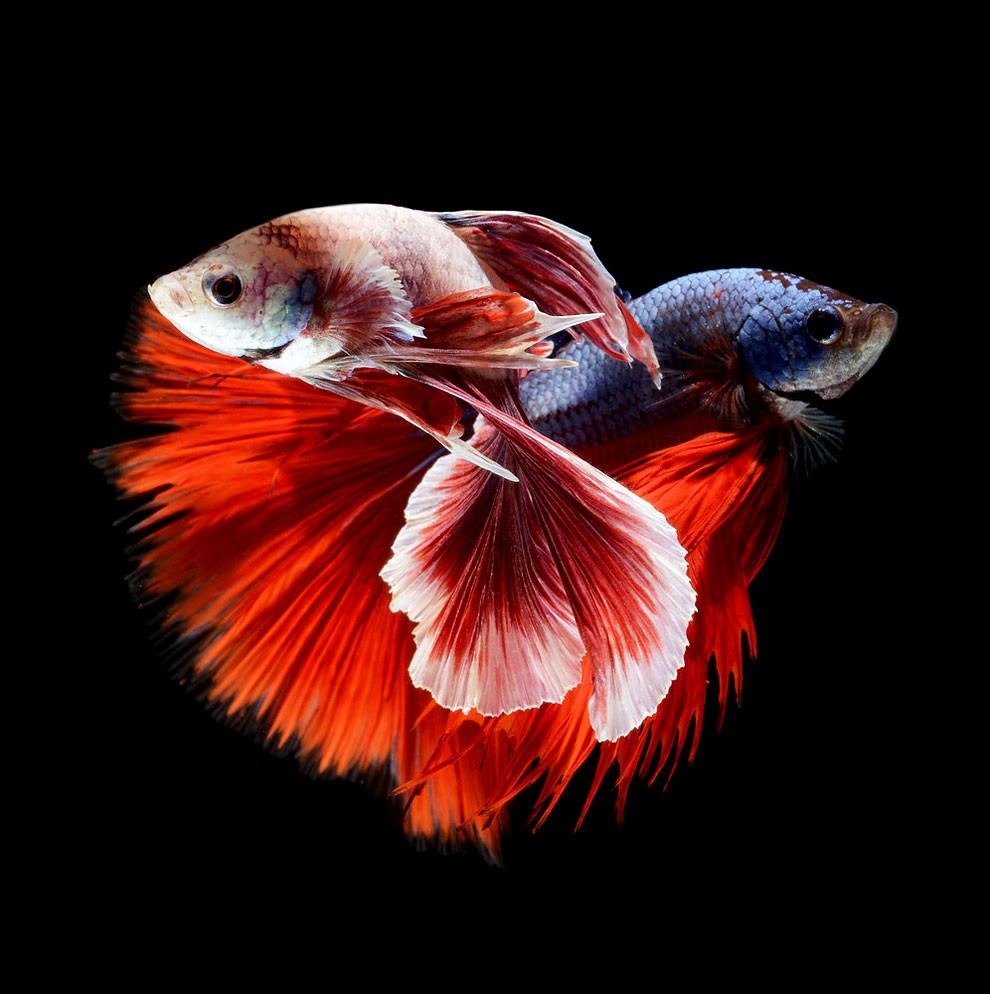 Siamese Fighting Fish_14