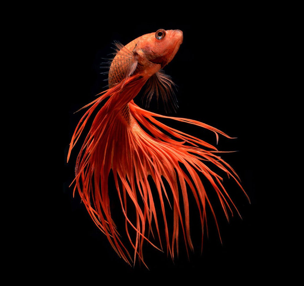 Siamese Fighting Fish_15