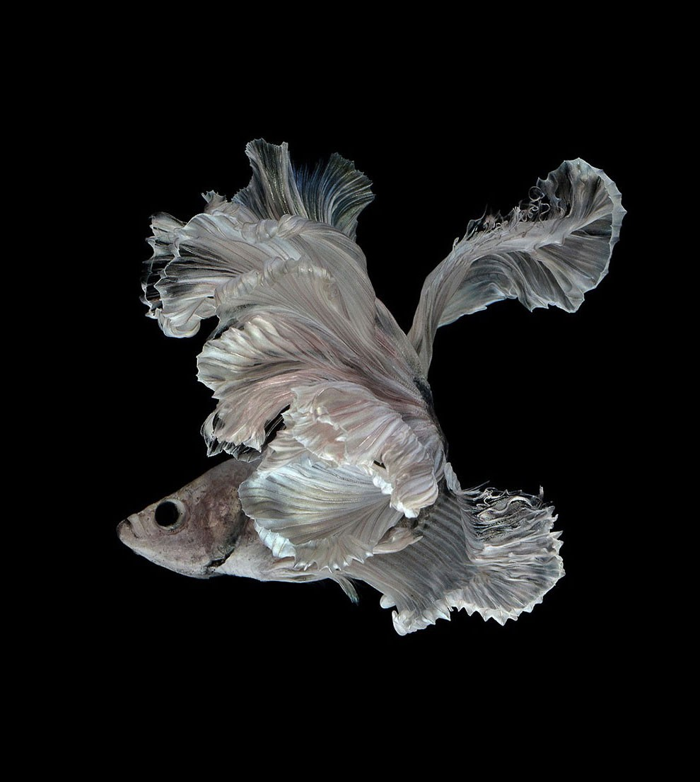Siamese Fighting Fish_16