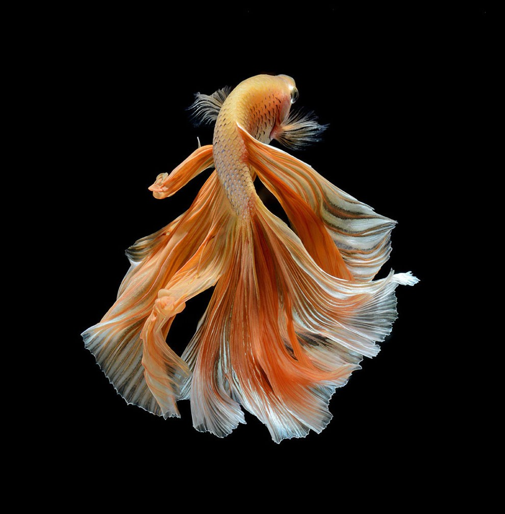 Siamese Fighting Fish_17