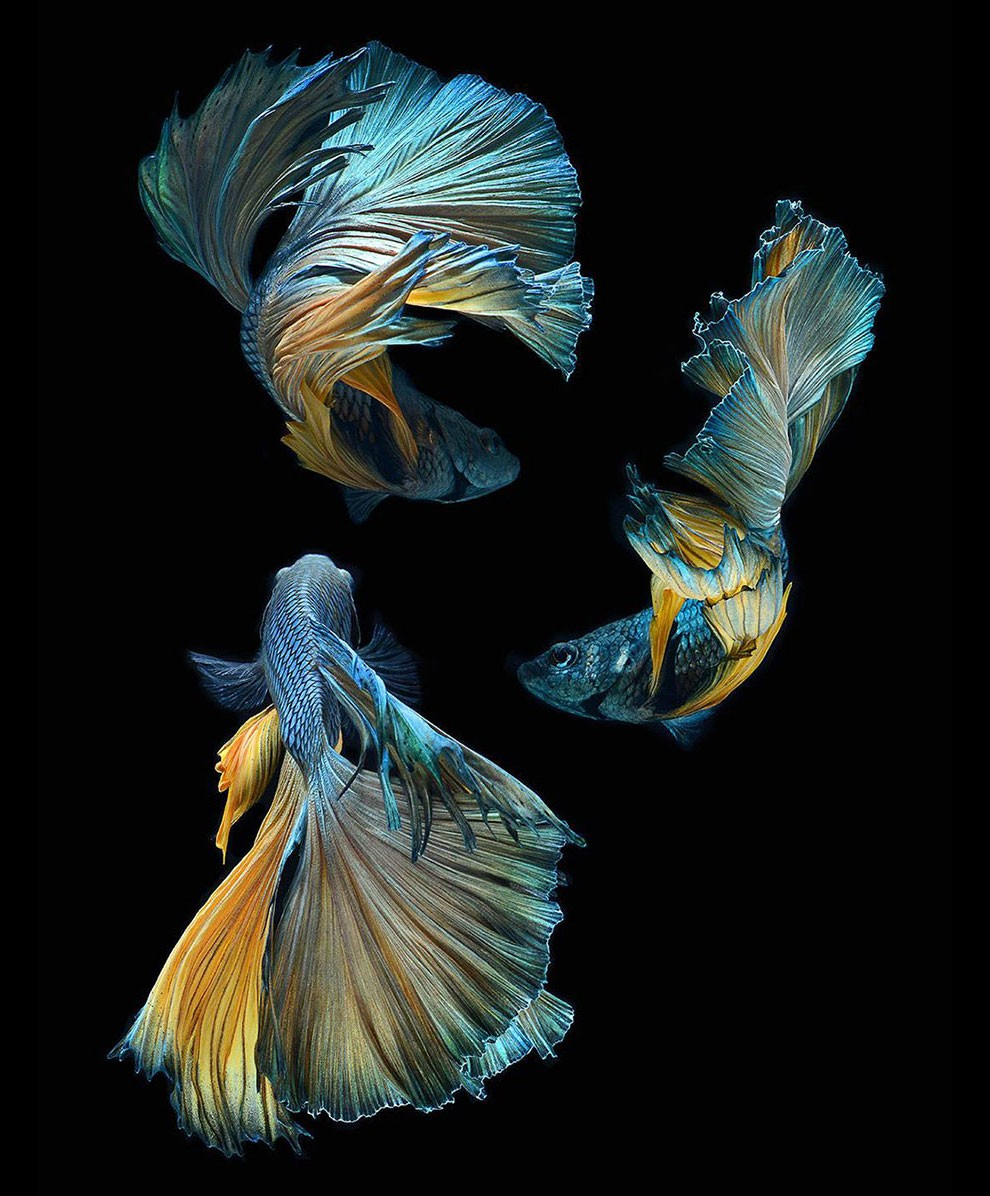 Siamese Fighting Fish_18