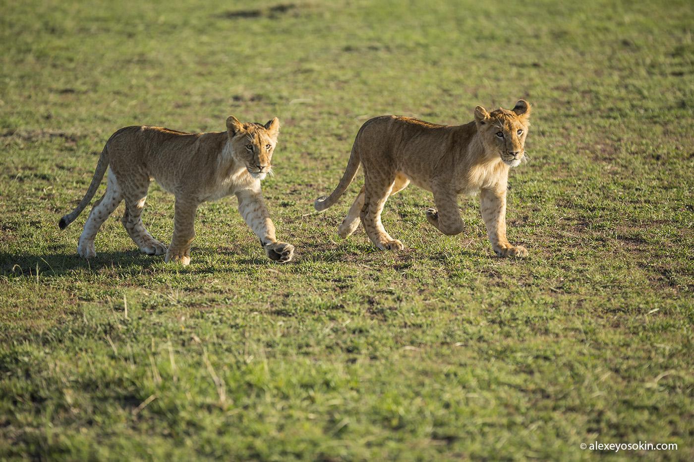 World lion day_03