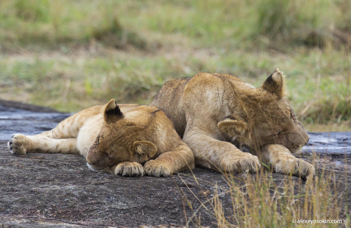 World lion day_07