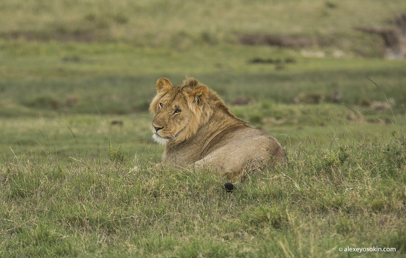 World lion day_10