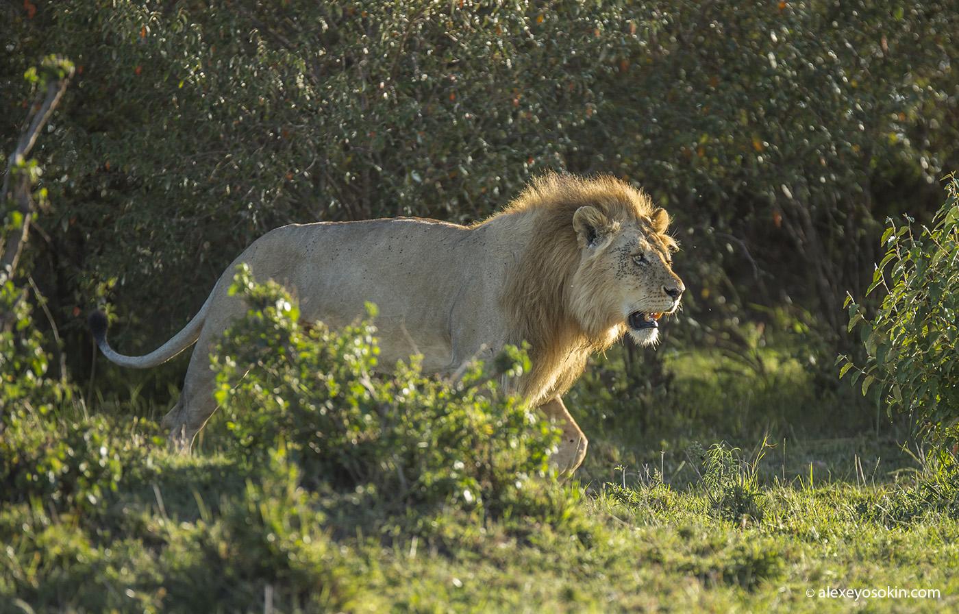 World lion day_11