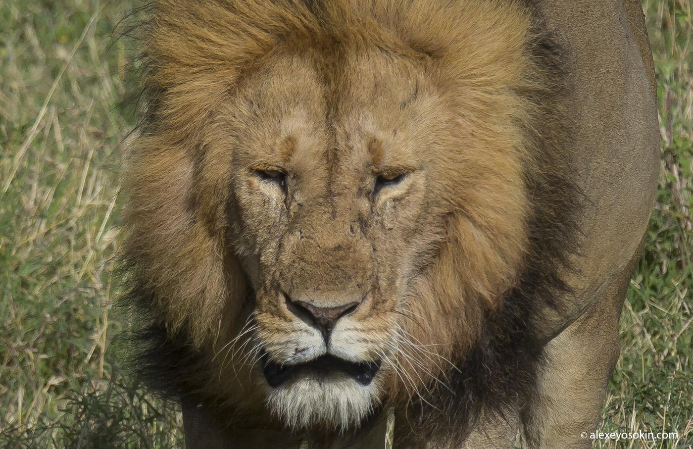 World lion day_15