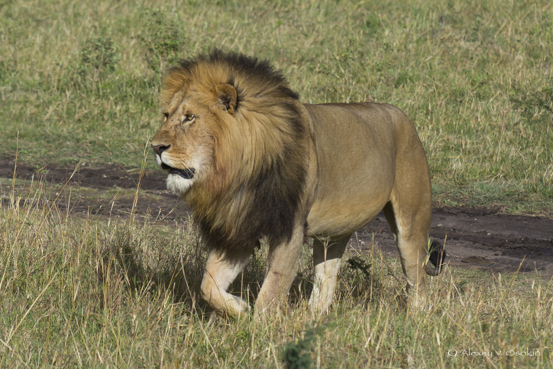 World lion day_16