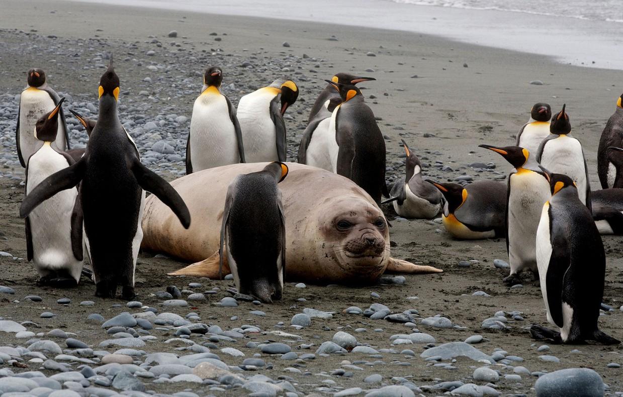 ostrov-Makkuori-pingviny-foto_10