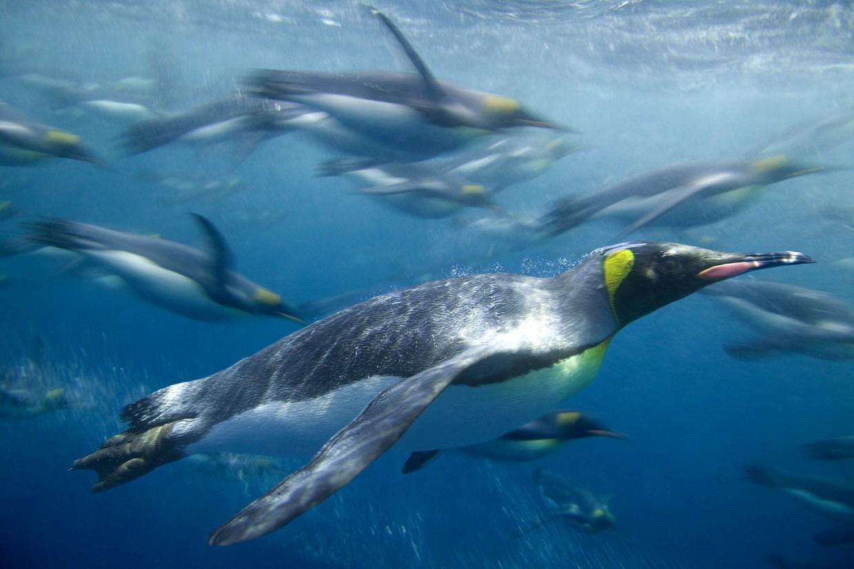 ostrov-Makkuori-pingviny-foto_11