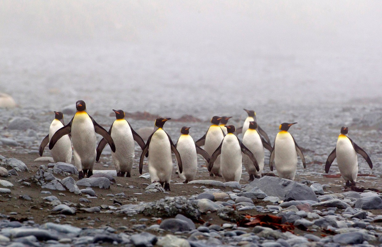 ostrov-Makkuori-pingviny-foto_12