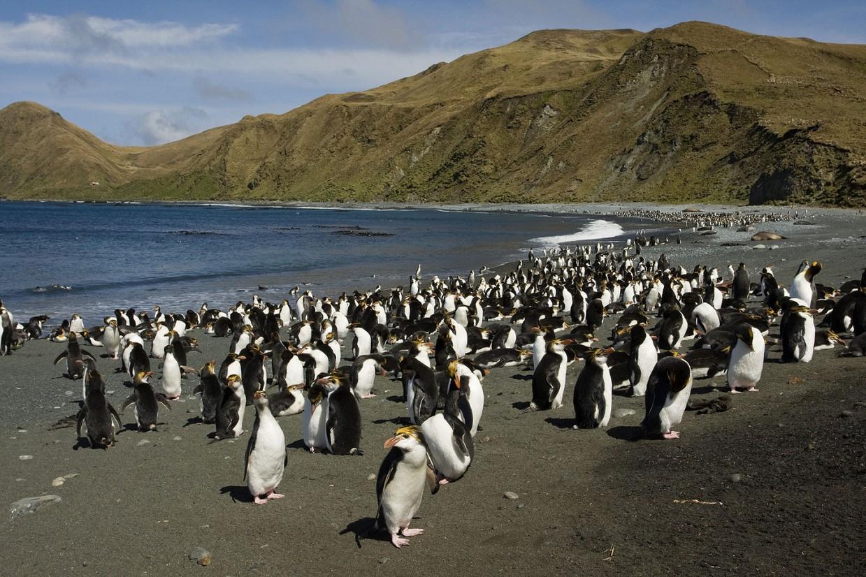 ostrov-Makkuori-pingviny-foto_13