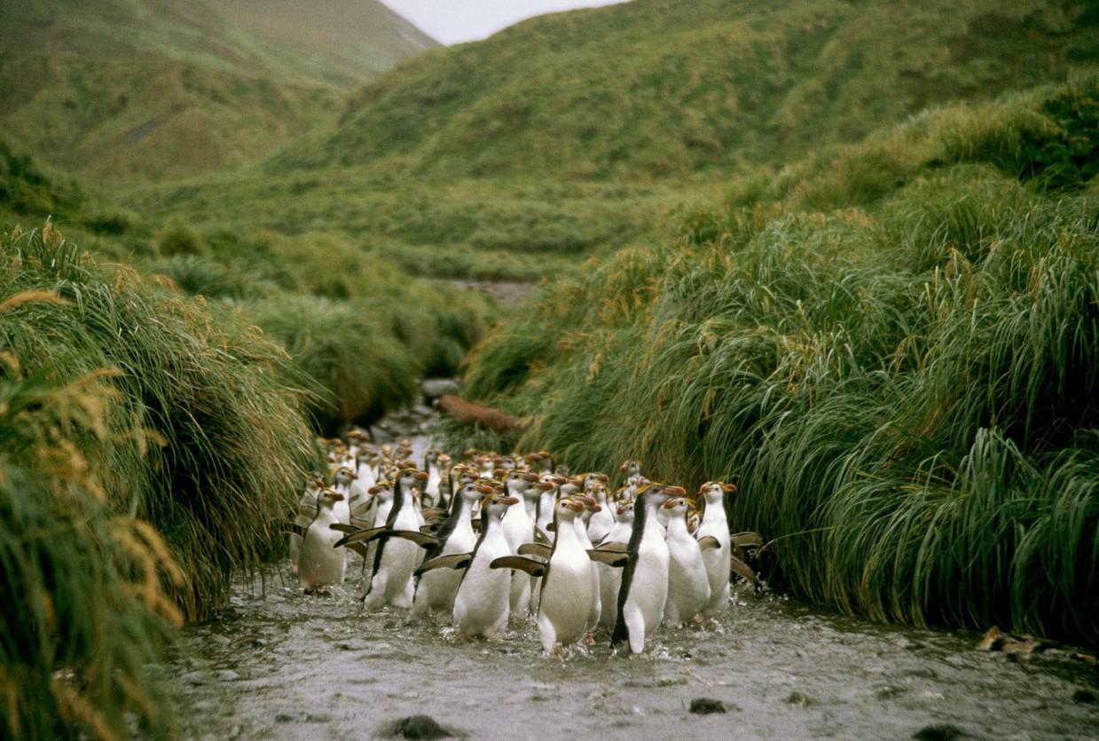 Остров Маккуори — земля пингвинов