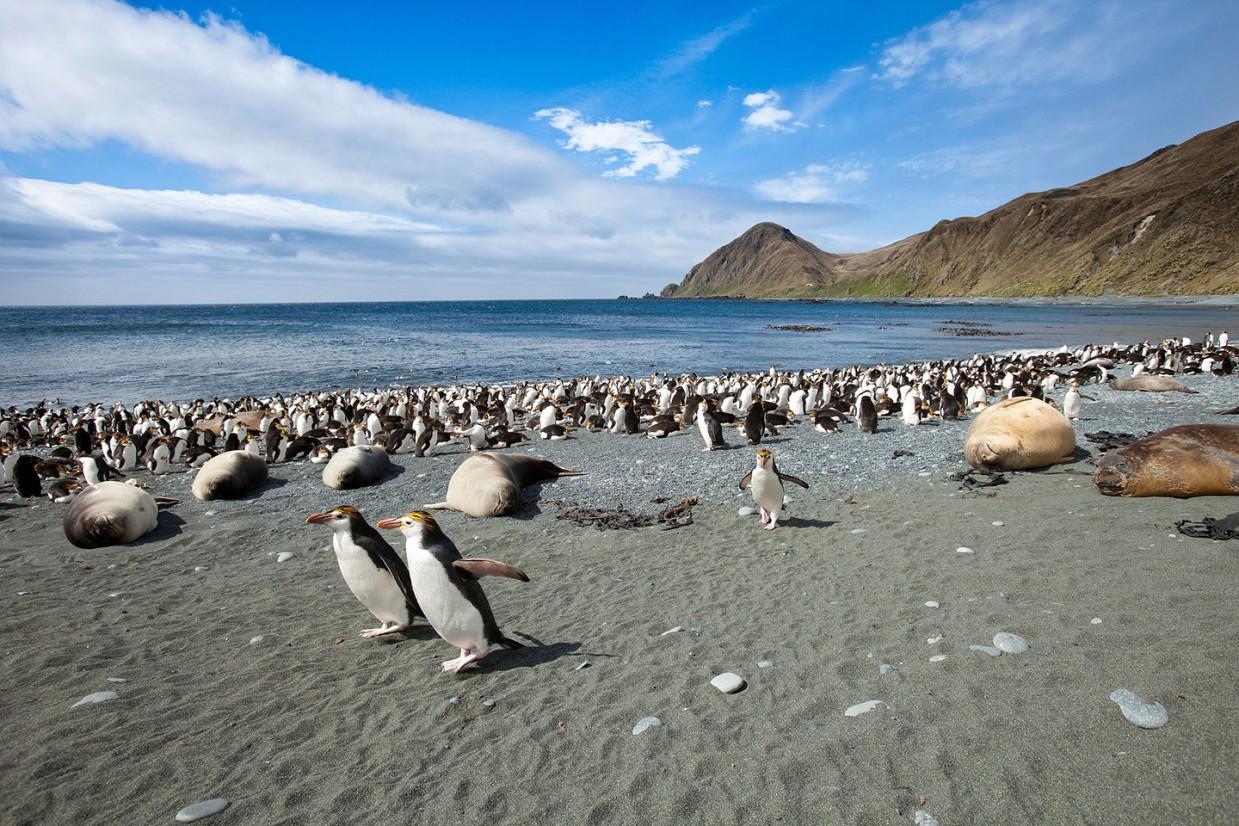 ostrov-Makkuori-pingviny-foto_3