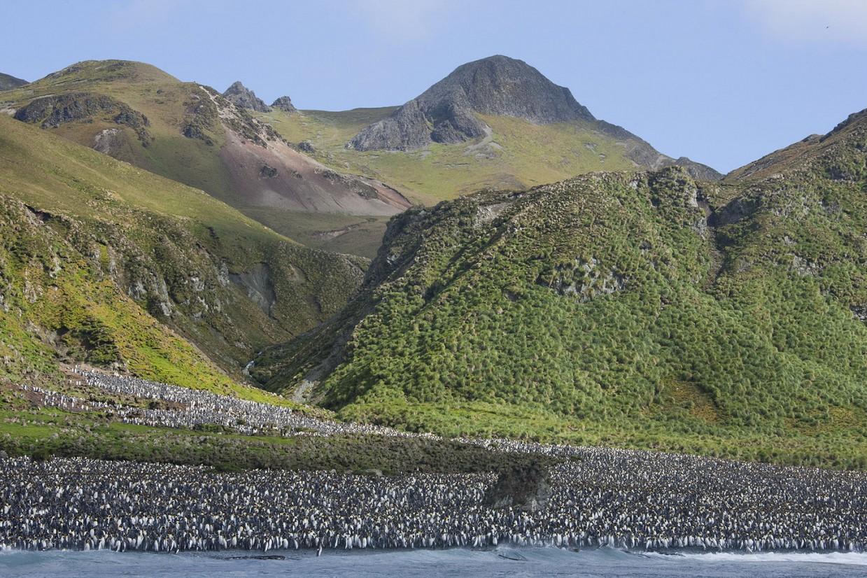 ostrov-Makkuori-pingviny-foto_5