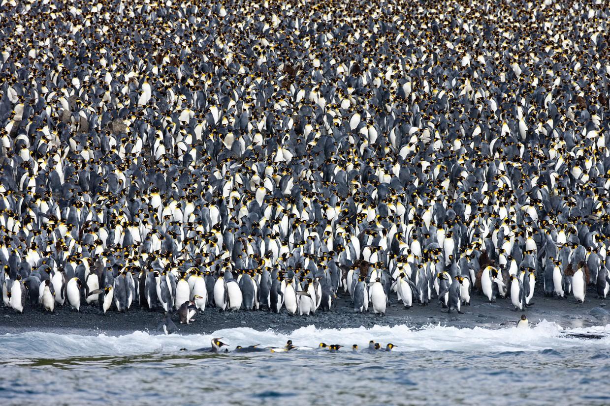 ostrov-Makkuori-pingviny-foto_6