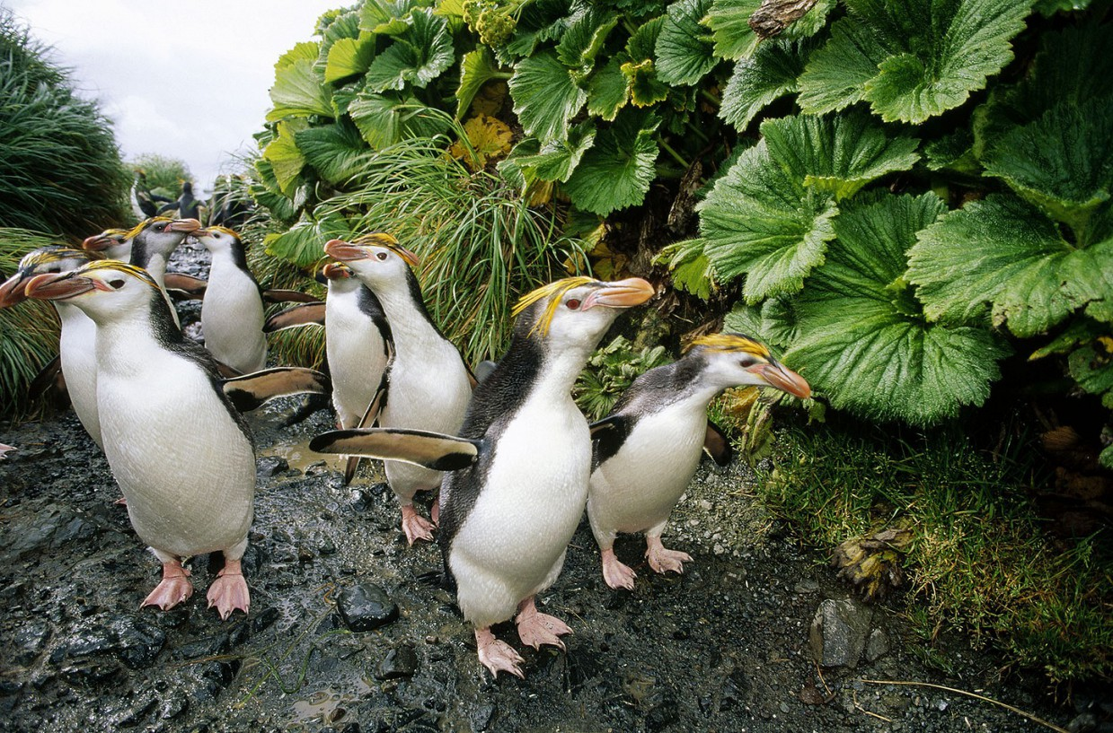 ostrov-Makkuori-pingviny-foto_7