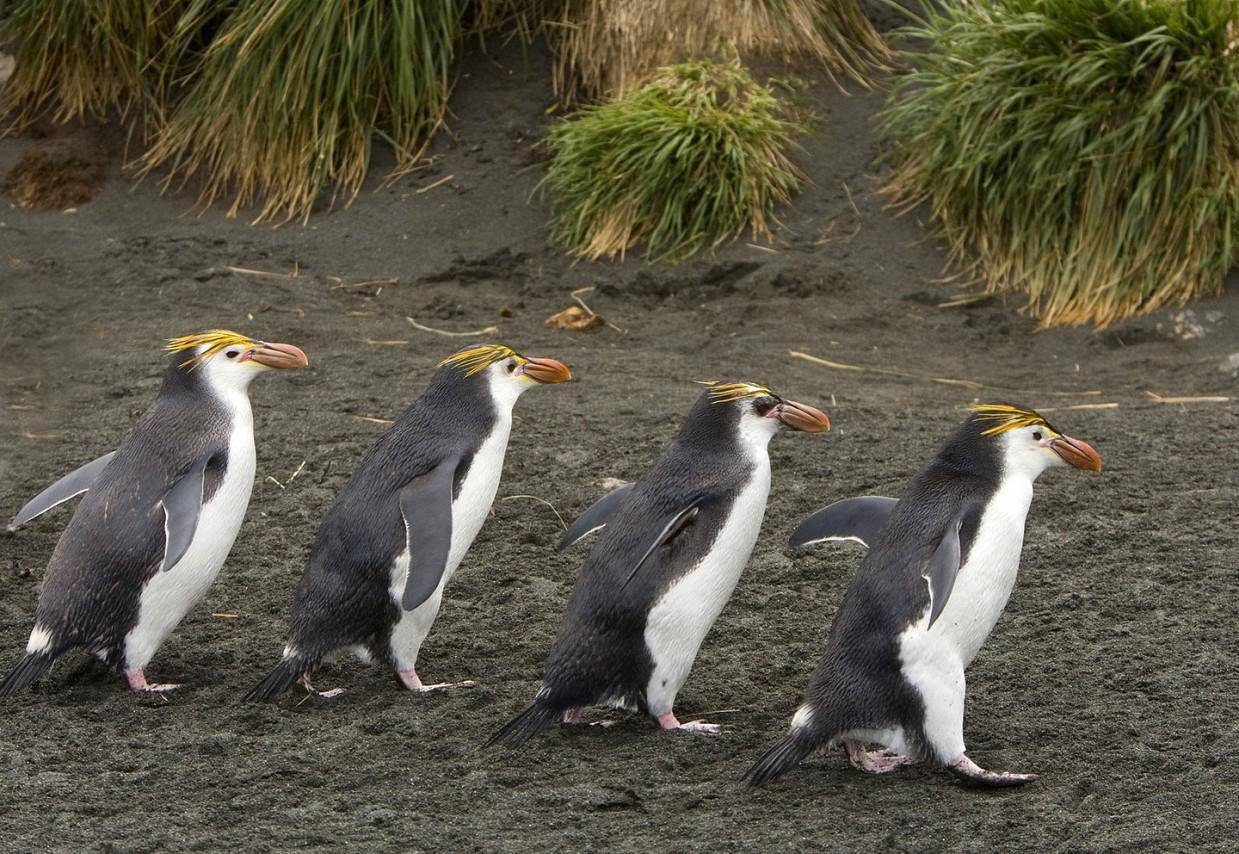 ostrov-Makkuori-pingviny-foto_8