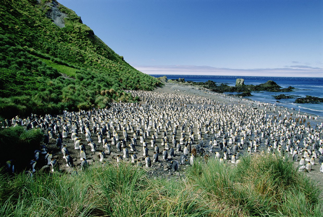 ostrov-Makkuori-pingviny-foto_9