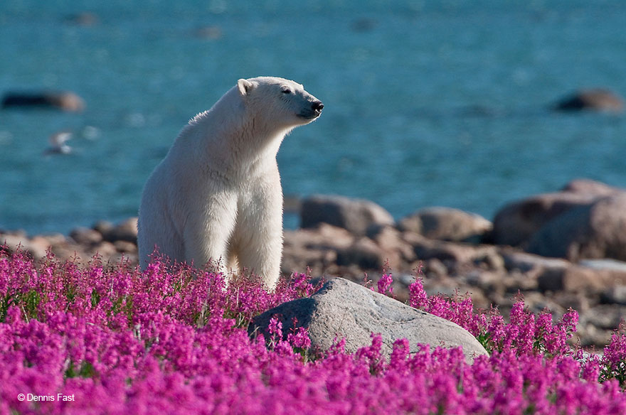 polar-bear-playing-flower-field-dennis-fast-15