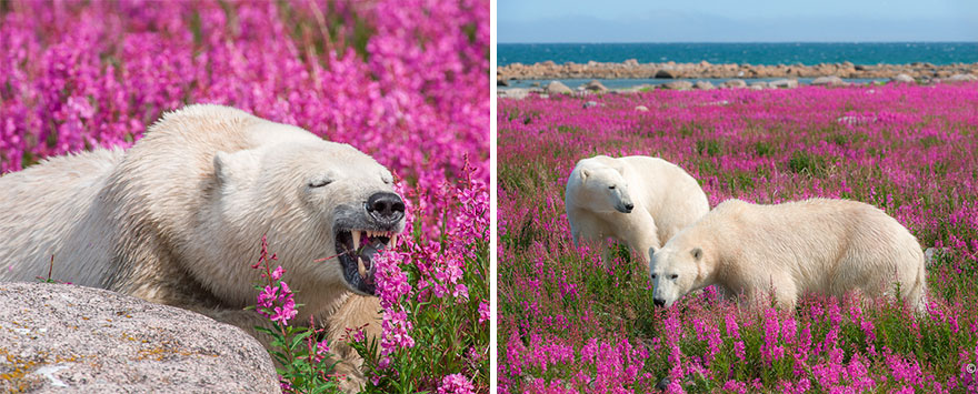 polar-bear-playing-flower-field-dennis-fast-20