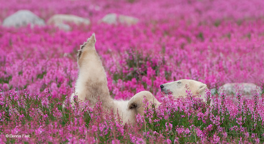 polar-bear-playing-flower-field-dennis-fast-21
