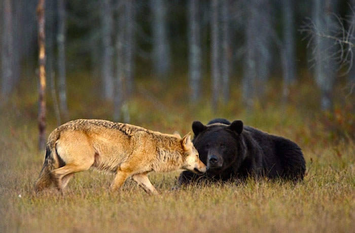 rare-animal-friendship-gray-wolf-brown-bear-lassi-rautiainen-finland-111