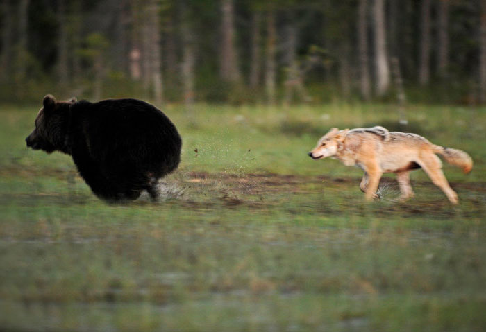 rare-animal-friendship-gray-wolf-brown-bear-lassi-rautiainen-finland-21