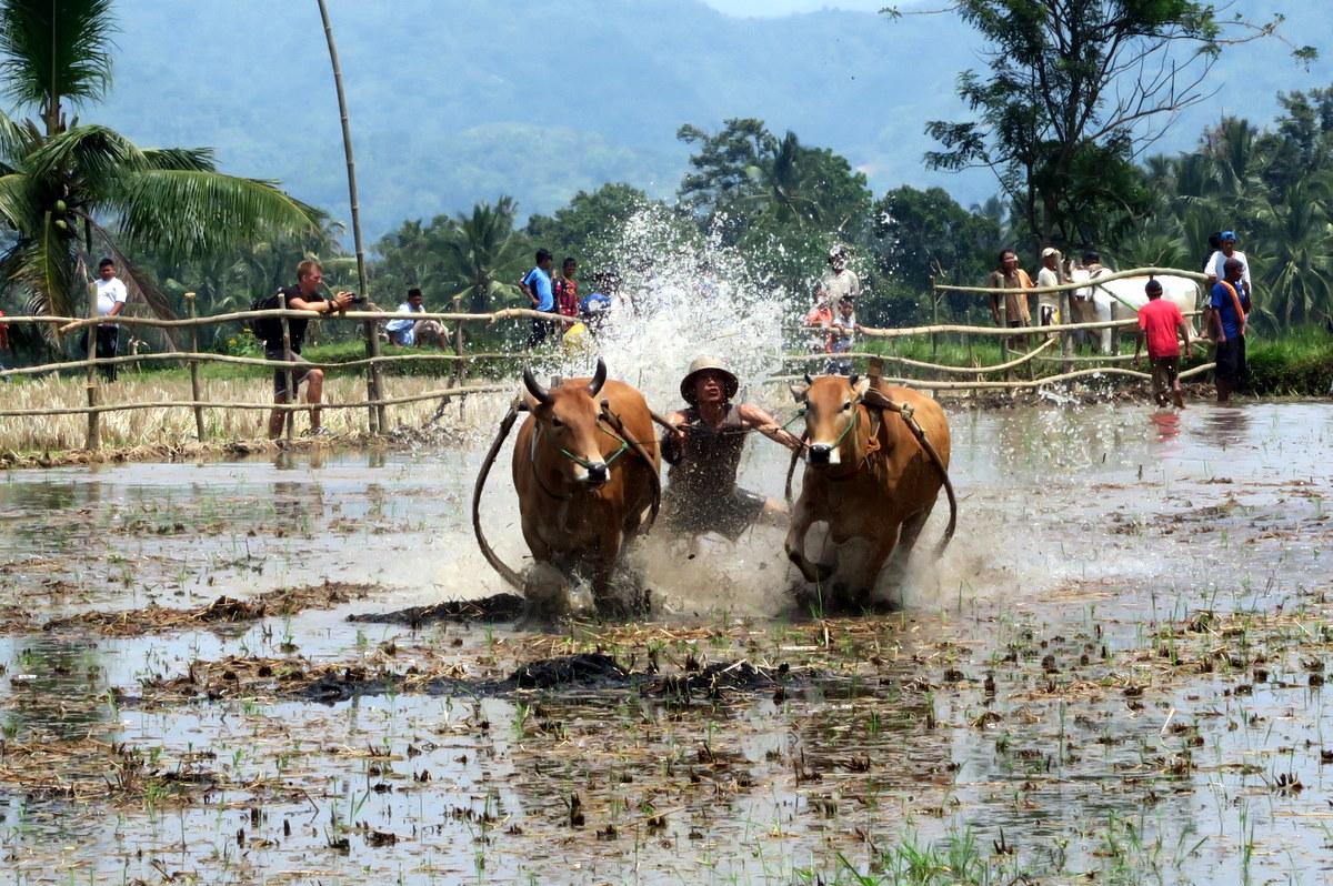 Пачу Джави — фестиваль быков Суматры