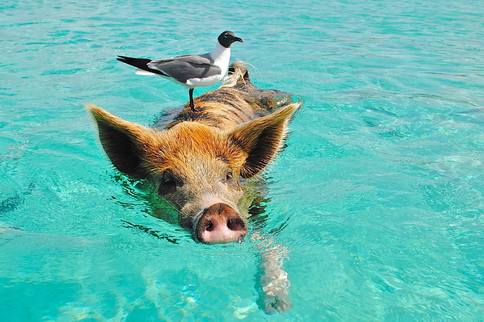 Pigs in the Bahamas 03