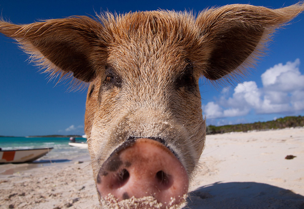 Pigs in the Bahamas 07