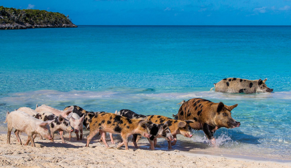 Pigs in the Bahamas 15