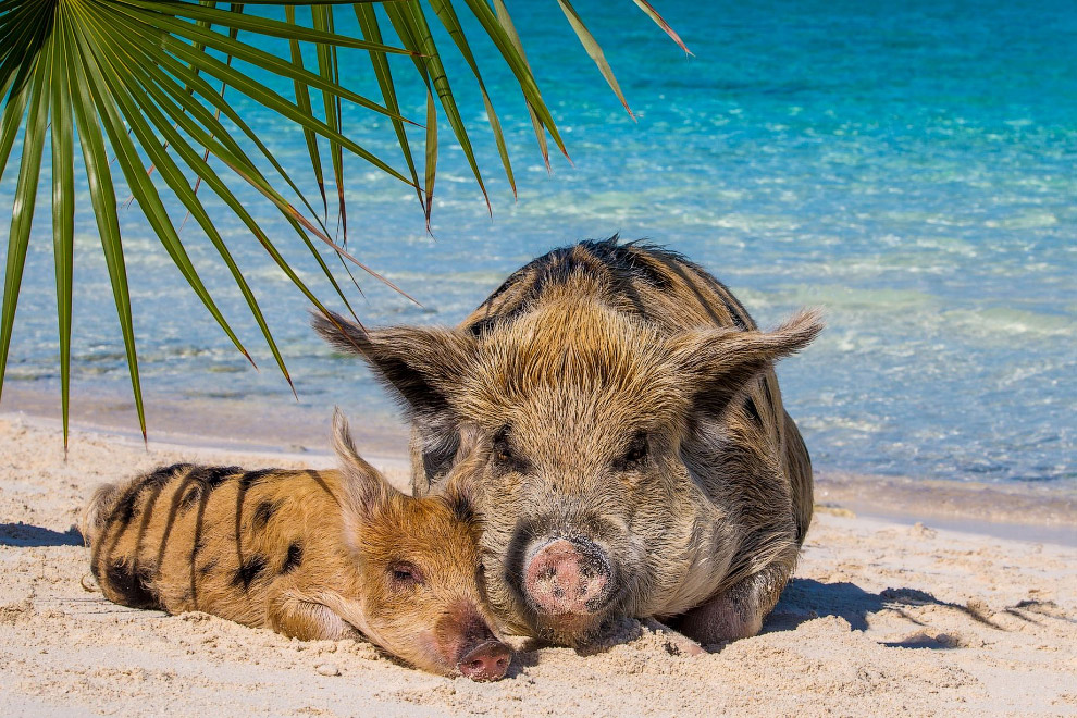 Pigs in the Bahamas 17