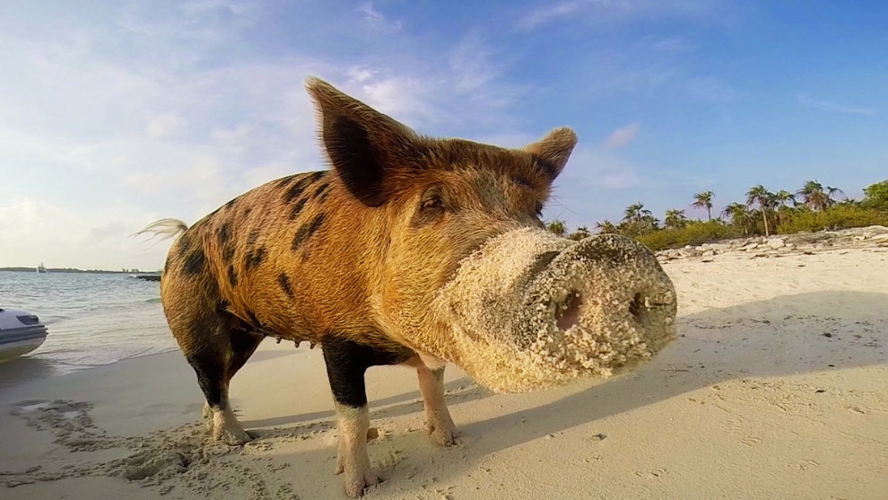 Pigs in the Bahamas 19
