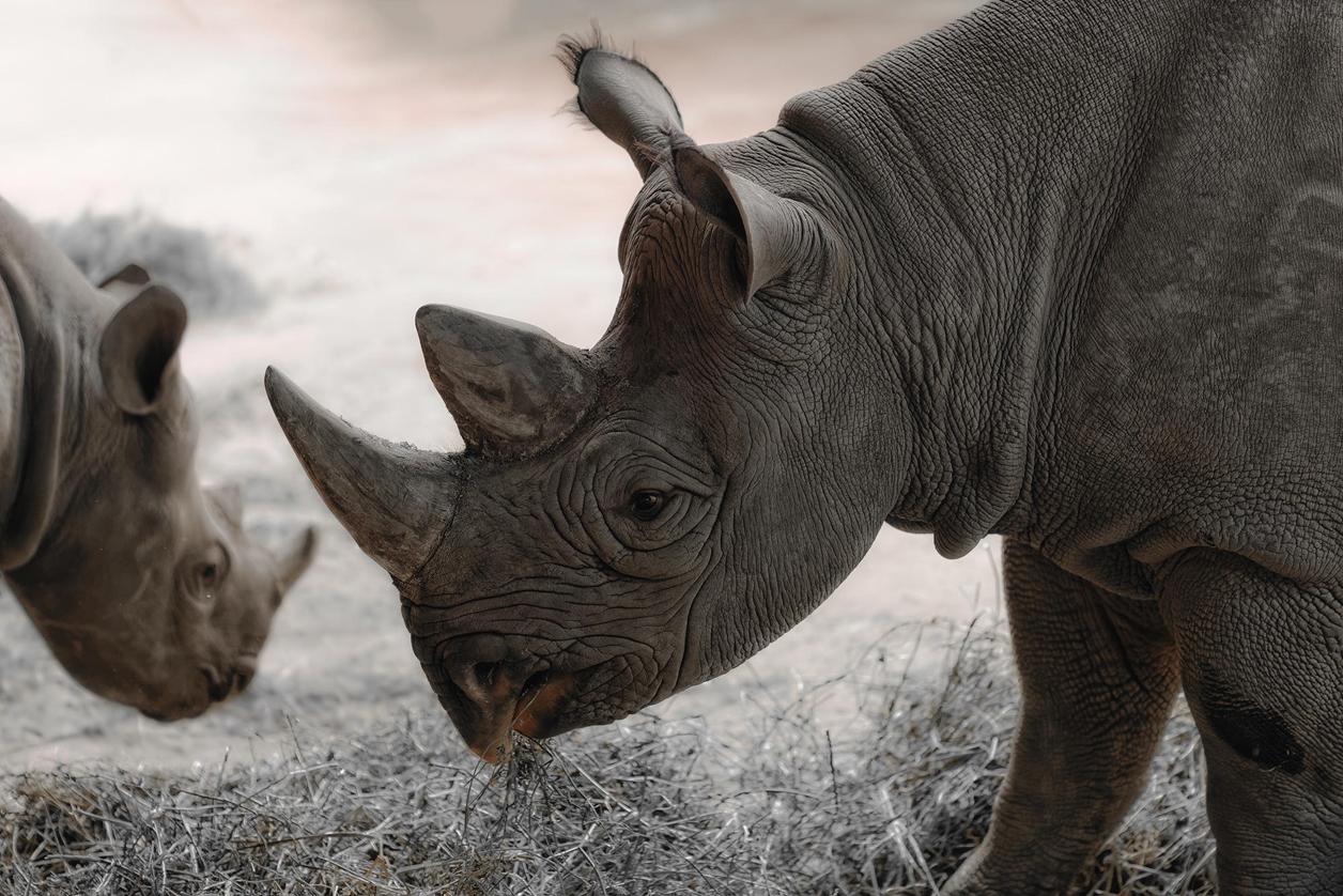 Rhino_11