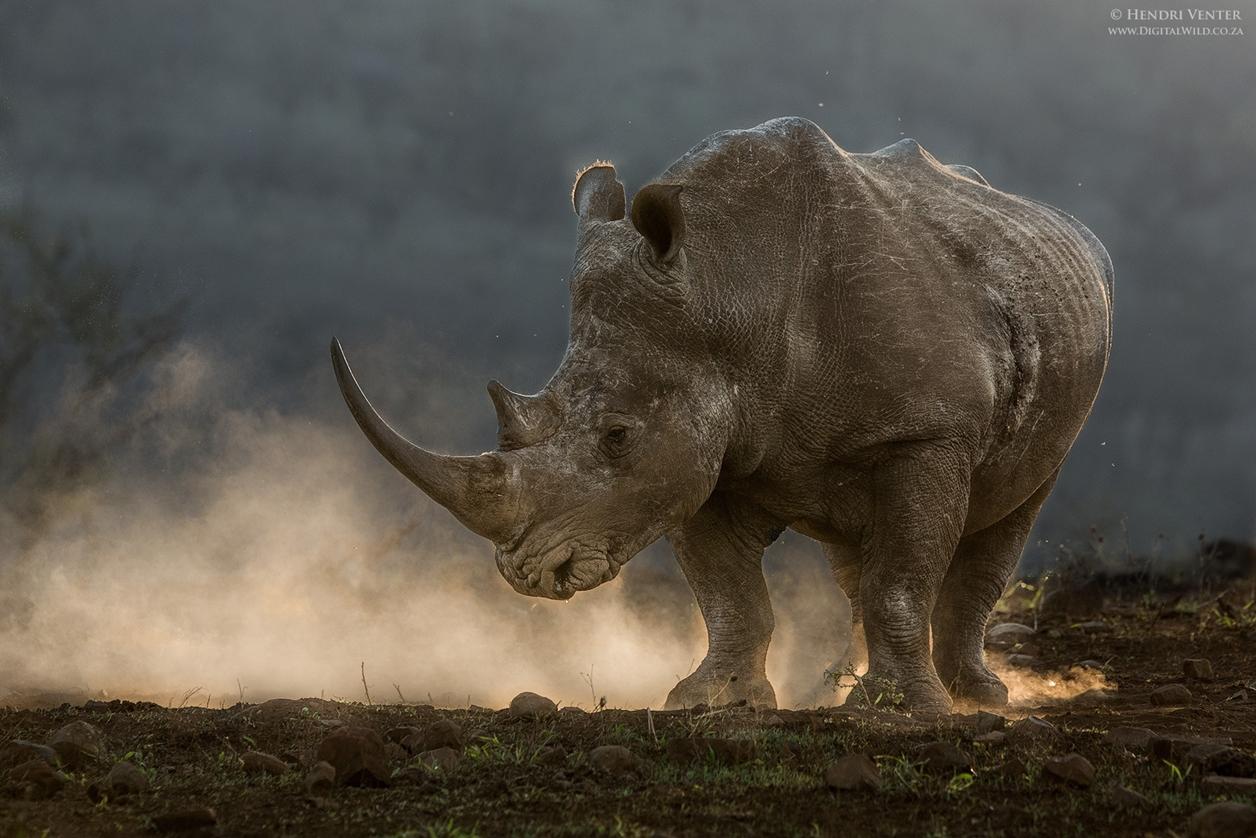 Rhino_14