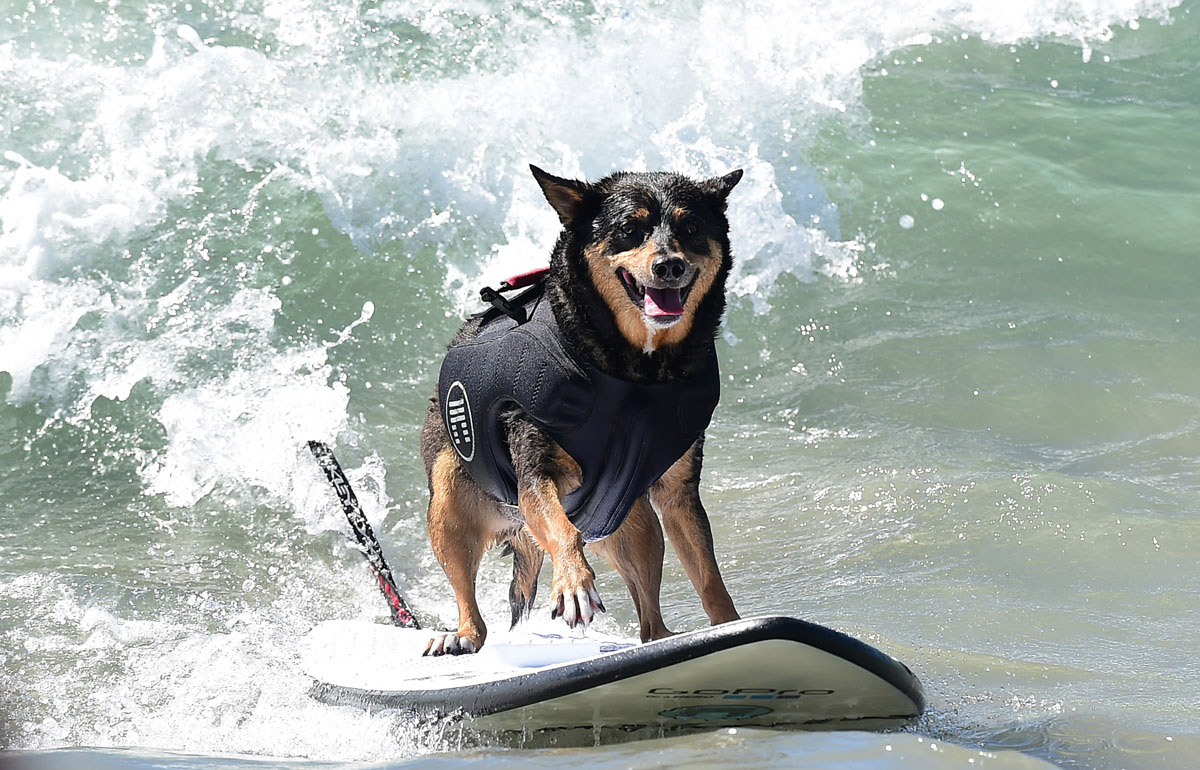Surf's up for these dogs in Southern California_19