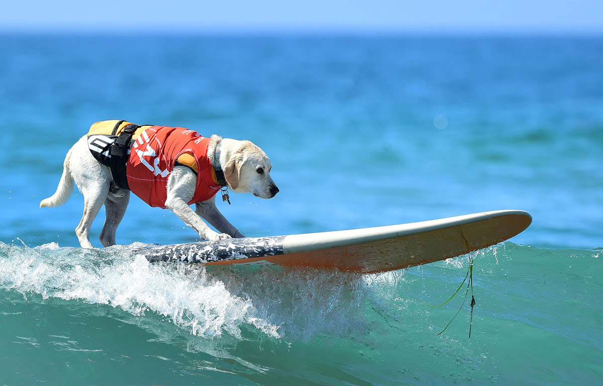 Surf's up for these dogs in Southern California_23