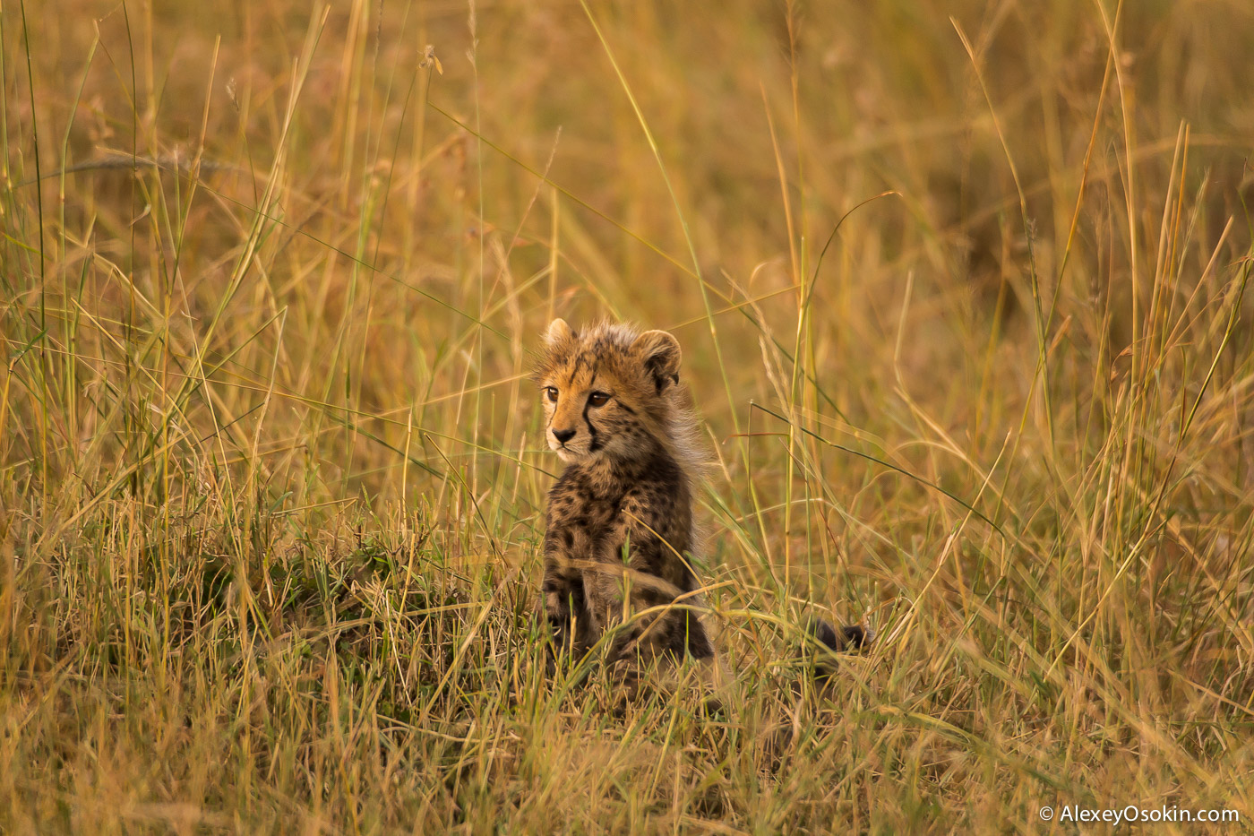 С гепардами от рассвета до заката и неожиданная встреча с леопардом