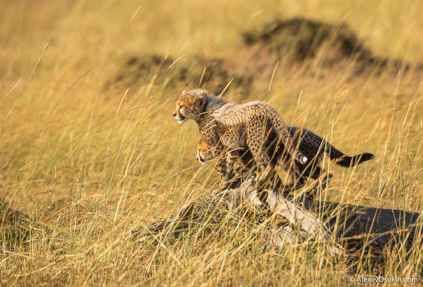 cheetahs 03