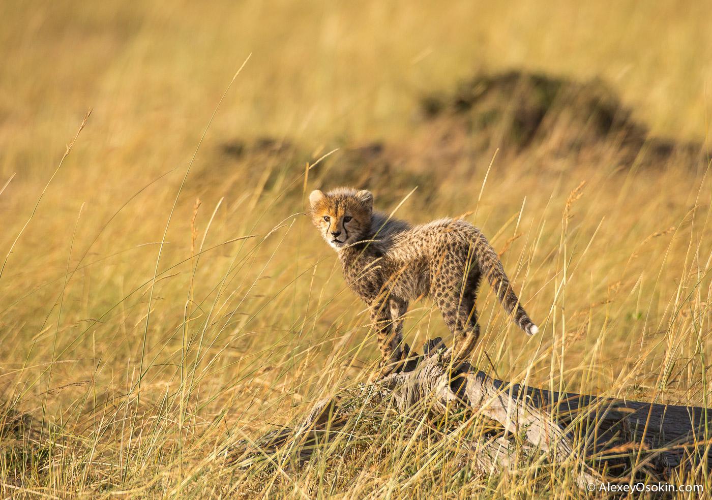 cheetahs 04